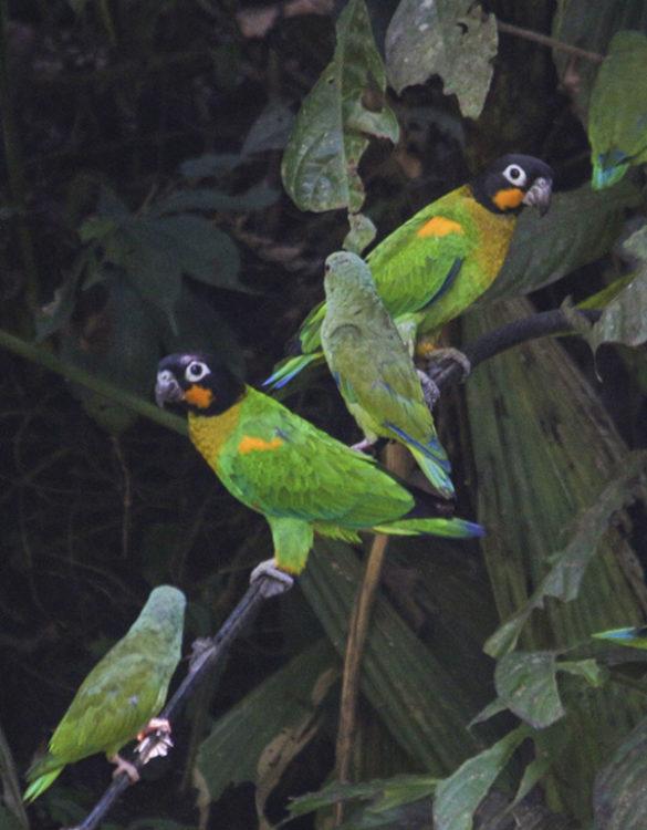 Amazon Rain Forest | Parrots