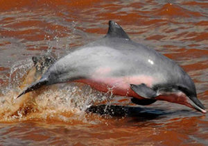 Pink Delphin | Amazon Rainforest