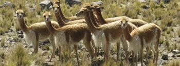 Arequipa Peru Wildlife