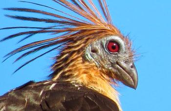 Birdwatching-on-Amazon-cruises-in-Peru2