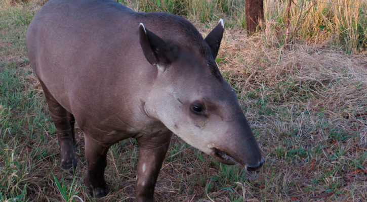 New dwarf tapir species discovered