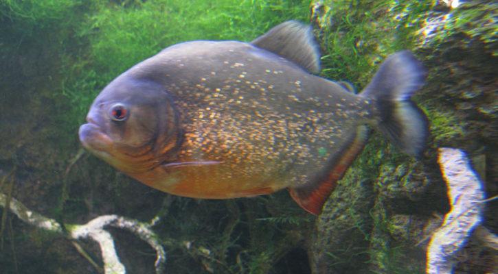Piranha fishing on Amazon River trips
