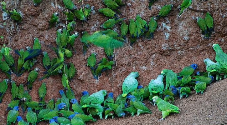 See the Yasuni parrot clay lick on Manatee and Anakonda cruises