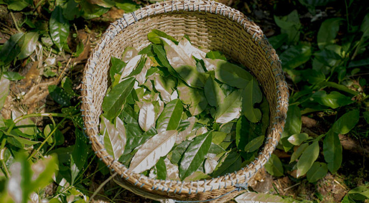 Stash Tea introduces Guayusa… Energy from Ecuador