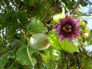 passion fruit flower-amazon cruise