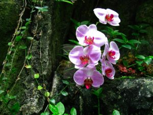 orchids-Brazil Amazon cruise