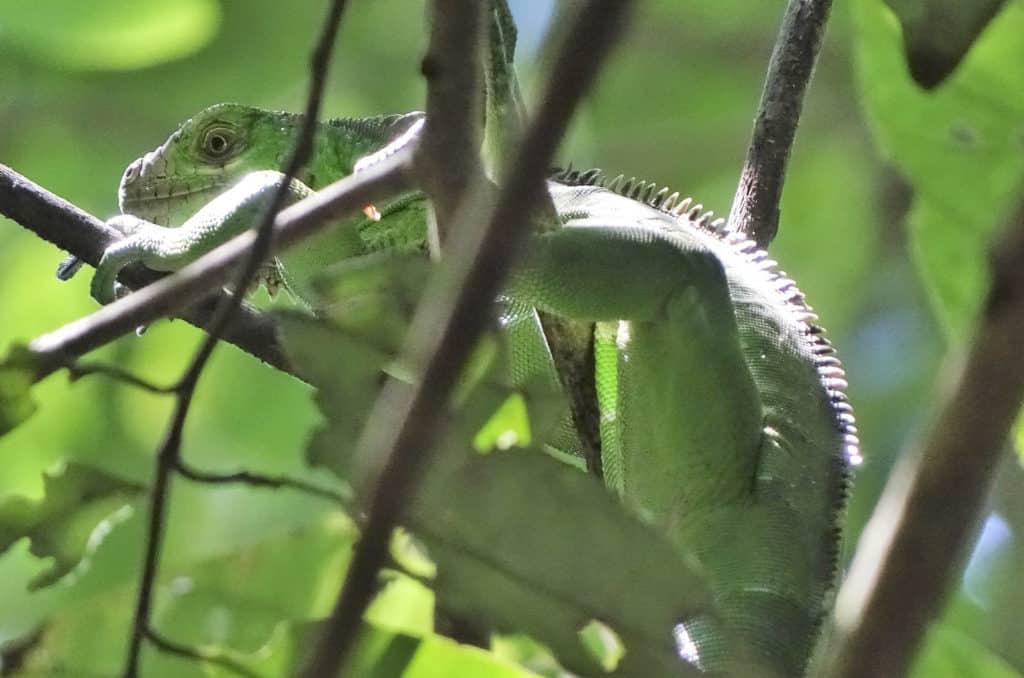 Amazon Rainforest | Lizard hiding in green