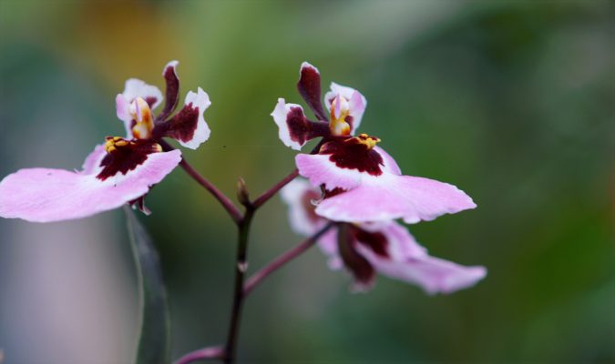 A Detailed Guide Of Orchids of Peru