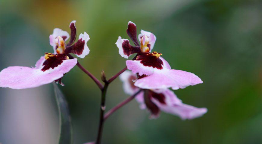 peru orchids
