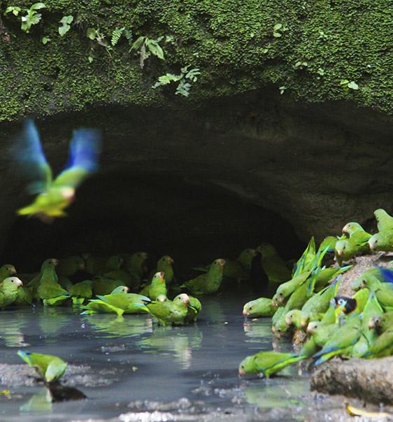 Cuyabeno parrots | Amazon | Ecuador