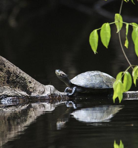 Cuyabeno turtle | Amazon | Ecuador