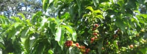 Coffee Amazon Rainforest