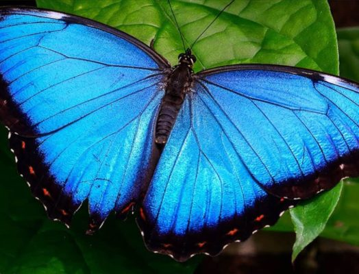 8 Mind Blowing Facts to Know About the Morpho Butterfly