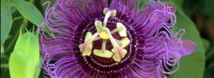 Passion Flower Amazon Rainforest
