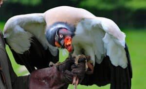 king-vulture-1682982_640
