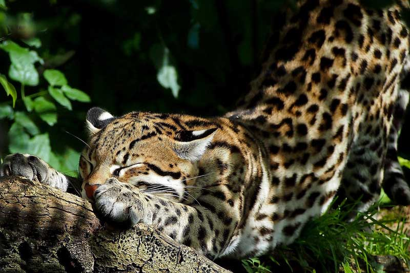 Jaguar amazon wildlife